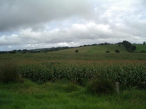 Wheat at Comboyne