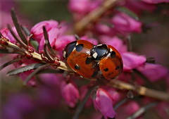 Playful Springtime (Kirsten M Lentoft) Tags: topv111 spring heather couples ladybird ladybug rightplacerighttime naturesfinest anawesomeshot momse2600 kirstenmlentoft