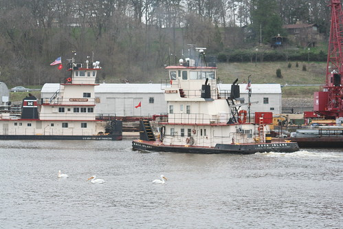 White Pelicans and Rock Island Tug