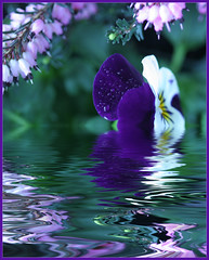purple swirl (LN) Tags: pink flowers reflection eye water catchycolors psp spring rainbow purple flood heather pansy explore trophy flowerpower ln supershot flowerscolors colorphotoaward superbmasterpiece havingfunwithpaintshop