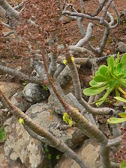 Verode branching (Marianne Perdomo) Tags: plant planta grancanaria geotagged islands succulent flora canarias canary suculenta aeonium laconcepción macaronesian macaronesianflora geo:tool=gmif geo:lat=28020978 geo:lon=15491704 safe200