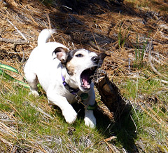 Great White Terrier (Carplips) Tags: dog white fierce teeth attack killer spotted speedy fiesty jackrussellterrier guarddog i500 stickabuse pitbullwannabe