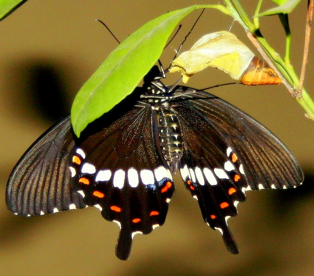 Papilio cresphontes; giant black swallowtail butterfly