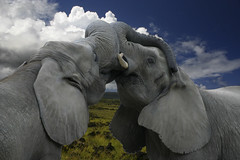 Titans (iko) Tags: 15fav elephant animal 510fav freedom fight kiss kissing screensaver outdoor taiwan taipei fighting tw elefante supershot interestingness437 i500 abigfave