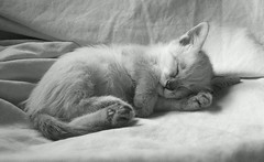 . (dion_b) Tags: sleeping bw cat blackwhite kat chat sleep kitty gato katze dormir gatto cutecat beautifulcat  flickrsbest bestofcats cat1100 loveofthefelineprizegallery