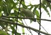 Pacific Parrotlet (Michael Woodruff) Tags: foothills bird birds ecuador pacific birding lowlands parrot parrotlet pacificparrotlet forpuscoelestis forpus nwecuador riosilanche