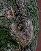 (mightyquinninwky) Tags: tree squirrel kentucky bark lexingtonky frontyard knothole chevychase squirrelnest fontaineroad centralkentucky youngsquirrels