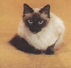 Pet Cat Meow Balinese Cat