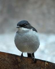 Common Fiscal: beady eye (jeremyhughes) Tags: bird birds southafrica nikkor shrike tc14eii nikond200 kleinkaroo 300mmf4d gamkaskloof diehel commonfiscal