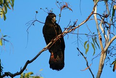 Cacatos banksien, Calyptorhynchus banksii (Red-tailed Black-Cockatoo) (Don-Jean Landri) Tags: 2005 australie calyptorhynchus calyptorhynchusbanksii redtailedblackcockatoo territoiredunordaustralie cacatosbanksien