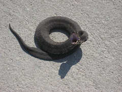 Cotton Mouth Snake