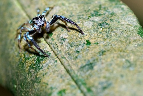 Blue Jumping Spider
