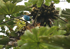 Golden-naped Tanager (Michael Woodruff) Tags: bird southamerica birds ecuador birding sa tanager tangara cecropia tandayapa tandayapavalley nwecuador goldennapedtanager goldennaped tangararuficervix