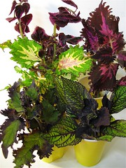 Coleus Batch 1 (of 3)