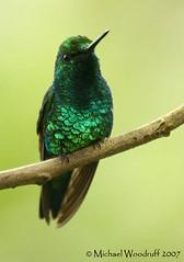 Western Emerald (Michael Woodruff) Tags: bird birds ecuador hummingbird birding western cloudforest hummer emerald subtropics bluetailed bluetailedemerald chlorostilbonmellisugus tandayapa tandayapavalley avianexcellence nwecuador westernemerald chlorostilbonmelanorhynchus chlorostillbon
