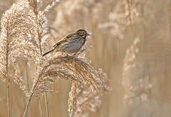 Reed Bunting in Reeds (graspnext) Tags: big grandmother momma bigmomma supershot anawesomeshot superaplus aplusphoto diamondclassphotographer photofaceoffwinner photofaceoffplatinum pfogold