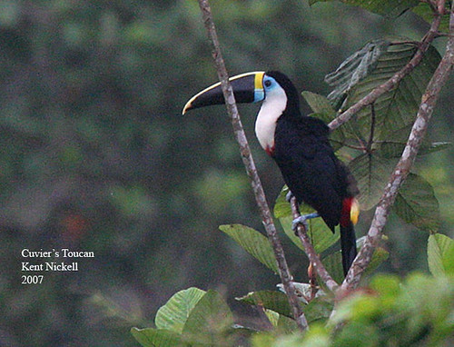 Cuvier's Toucan (Ramphastos cuvieri) by mountainpath2001.