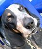 My friend Franco, Grand Blé de Gascogne (LivornoQueen) Tags: italy dog sweet livorno franco wowiekazowie