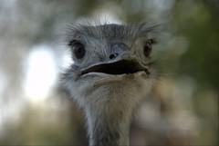portret of ostrich III (pablo zom) Tags: bird ostrich portret breukelen struisvogel nijenrode