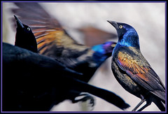 grackle scramble - by Steve took it