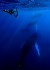 3whalewdvr6114pcw (gerb) Tags: blue topf25 beautiful topv111 1025fav 510fav wow cool interesting topf50 topv555 topv333 underwater dominicanrepublic topv1111 topv999 fv5 loveit topv5555 pi whale topv777 whales d200 thumbsup humpback topv9999 topv3333 onblue lurkation peopleschoice topv7777 topc150 helluva snorkeler fivestarsgallery 3waychallenge 3wc tvx 3w5 platinumphoto impressedbeauty silverbanks top20blue world100f 3wayassignment67 sunkentreasureaward herowinner