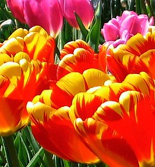 Tulip Time (Sandra Leidholdt) Tags: flowers flower nature floral tulips blossoms jardin explore tulip tulipas botanic blossoming botanicalgardens virg tulpen tulpe tulipaner tulipes denverbotanicalgardens tulipn tulipanes tulipany denverbotanicgardens denverbotanicgarden laleler denverbotanicalgarden  sandraleidholdt tulpenmeer  leidholdt sandyleidholdt