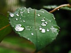 roseleaf with raindrops (ulladullafairy) Tags: autumn green rose leaf raindrops herbstlich superbmasterpiece superhearts