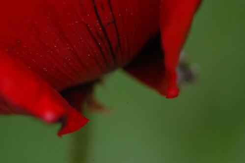 Poppy Macro 2