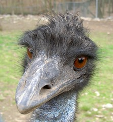 Emu? I don't even know you! (rich66 ~~) Tags: bird nature wildlife emu interestingness11 helluva ytmnd featheryfriday instantfave i500 specanimal animalkingdomelite abigfave 3030300 anawesomeshot impressedbeauty wtmwchallengewinner flamigfarm westsimsburyct
