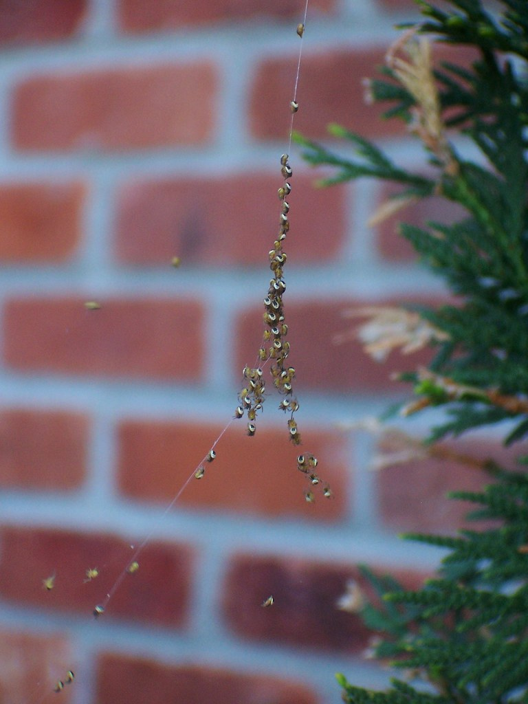 Baby Spiders Ballooning