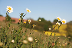First marguerites (Curlgirl1) Tags: flowers meadow margeriten landscape spring yellow grass nature mywinner abigfave