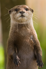 Otter (77dmj) Tags: cute eye wet animal fur interestingness interesting wildlife whisker otter cotswold interestingness17 i500 specanimal impressedbeauty 77dmj