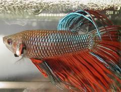 Male Betta Beauty (Scott Kinmartin) Tags: fish siamese explore fighting betta crowntail soe siamesefightingfish bettafish crowntailbetta malebetta shieldofexcellence