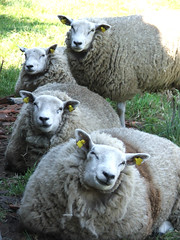 Too hot! (mion.nl) Tags: wool sheep schaap toohot blueribbonwinner impressedbeauty 100purewool copyrightmionnl mionnl