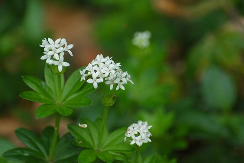 Galium odoratum - Lievevrouwebedstro. Foto: AnneTanne. Creative Commons License