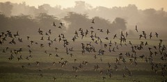 ruffs (wildlens) Tags: sunset wild india mist colour bird art nature birds horizontal sunrise asian nikon asia published natural wildlife indian  atmosphere colourful portfolio avian gujarat thepca jadeja 70300g manjeet specanimal yograj ourfavourites manjeetyograjjadeja