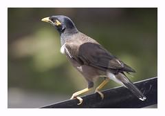 RSA (AIB - Angola Image Bank por KODILU Fotografia) Tags: bird topf25 topv111 topf50 topv555 topv333 topv1111 angola angolaemfotos angolaimagebank kodiluphotography angolainphotos wwwangolaimagebankcom