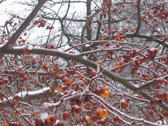 Icy Cherries (Happy Monkey) Tags: trees winter snow tree ice gardens cherry washingtondc dc washington cherries calendar january icy mclean 2007 20016 mcleangardens