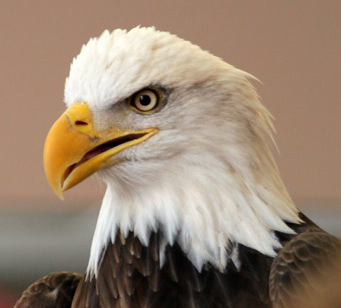 Bald Eagle, Alton, 21 Jan 07
