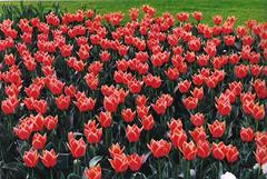 Keukenhof, the Netherlands  Apr 24, 2006 (sftrajan) Tags: red flower holland netherlands garden tulips nederland 2006 tuin paysbas garten niederlande keukenhof tulpen zuidholland tulipes lisse  southholland pasesbajos nederlnderna paesibassi   sdholland niderlandy