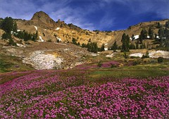 Geothermal Bloom (walking along) Tags: velvia wildflowers geothermal lassenvolcanicnationalpark specland 1on1landscapes