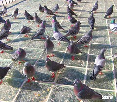Street Pigeons (*Saariy*) Tags: street cute birds animals canon turkey relax pigeons trkiye istanbul turquie turquia turchia turkei topshots instantfave canonpowershota700 impressedbeauty