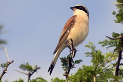 Redbacked Shrike (Arno Meintjes Wildlife) Tags: africa wallpaper bird nature southafrica mammal bush wildlife safari explore rsa shrike redbacked interestingness301 i500 animalkingdomelite anawesomeshot avianexcellence arnomeintjes