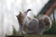 performance (tonecoach) Tags: grey dance nikon squirrel searchthebest scratch finest natures itch naturesfinest abigfave