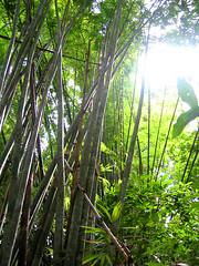 Вот такой он, дикий бамбук.