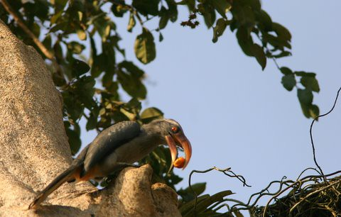 MG Hornbill outside the nest(2)