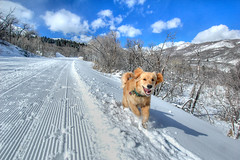 TazLovetoSki (Steven Ford / snowbasinbumps) Tags: goldenretrievers taz stevenford fordesign snowbasin ogden utah thewest skiing crosscountry nikon d70s explore abigfave interestingness topofutah lifeelevated utahtravel westerntravel snowbasinbumps fordesignnet sports