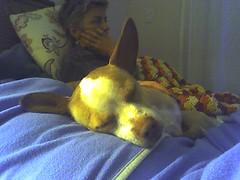 I just love her huge ears. (Mollissima!) Tags: cameraphone chihuahua home bed bedroom birgitte mylee watchingamovie hugeears