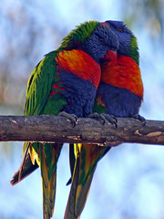 Love is ... (Brenda-Starr) Tags: birds bravo native australian parrots rainbowlorikeets featheryfriday animalkingdomelite wildlifeofaustralia impressedbeauty irresistiblebeauty avianexcellence