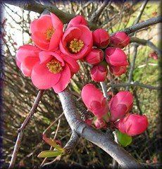 chaenomeles japonica - by SINGER - Photography